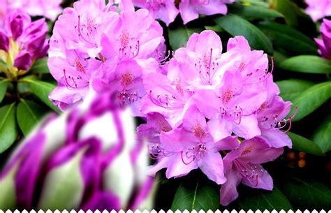 rhododendron planter entretenir tailler avec jaime jardiner