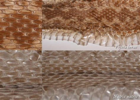 identification by shed snake skin reptiles and