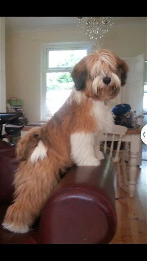 do tibetan terriers shed 28 images 15 great breeds who