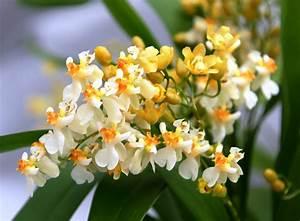 Jasmin Zimmerpflanze Pflege : blumen janke webshop detailansicht orchideen kreuzungen hybriden oncidium twinkle ~ Markanthonyermac.com Haus und Dekorationen