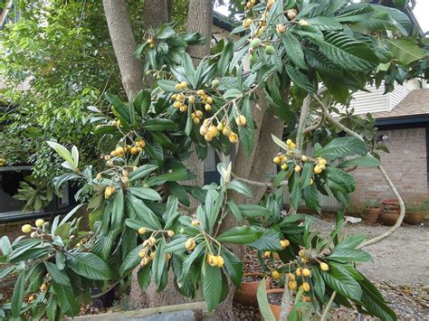 Exotic Fruit Trees San Diego Guide