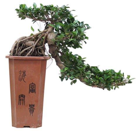 bonsai ficus cascade 80 cm florastore