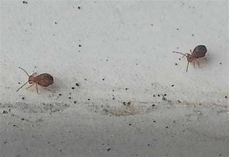 image gallery springtail bugs