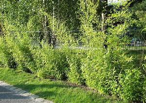 Was Bedeutet Pflegeleicht : gitterzaun empfehlenswerte bepflanzung pflegeleicht schnell wachsende hecke bambushecke ~ Markanthonyermac.com Haus und Dekorationen