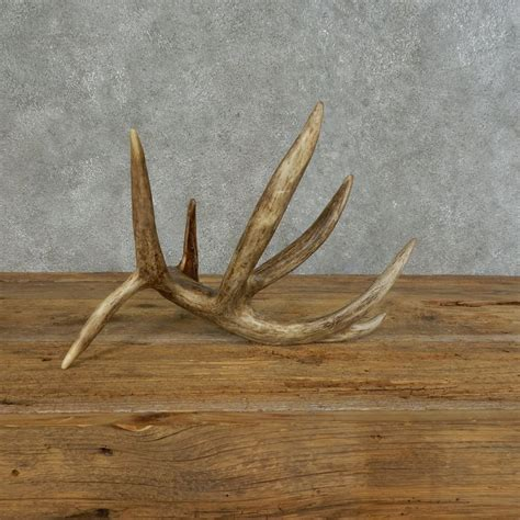 whitetail deer antler shed for sale 16153 the taxidermy store