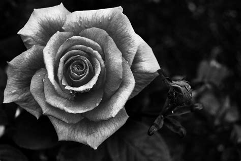 Black and White Rose Photography  Day 134  The Key Is
