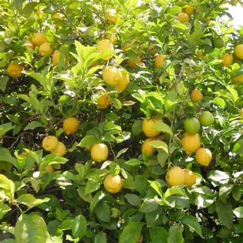 citronnier saison