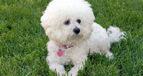 Non Shed Breeds Hypoallergenic by Large Non Shedding Hypoallergenic Breeds Breeds
