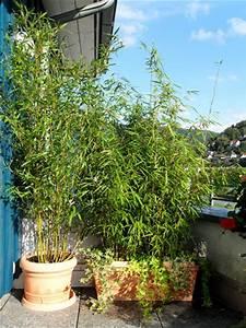 Immergrüner Sichtschutz Im Kübel : bambus als sichtschutz f r terasse und balkon bambus und pflanzenshop ~ Whattoseeinmadrid.com Haus und Dekorationen