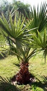 Palmen Für Die Wohnung : palmen center ~ Markanthonyermac.com Haus und Dekorationen