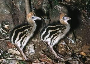 Southern Cassowary chicks - Australian Museum