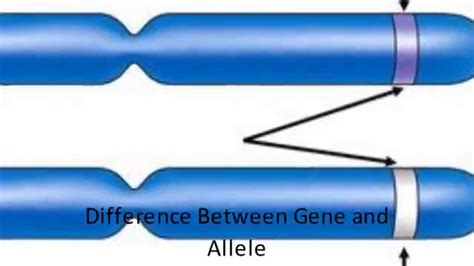 Difference Between Gene And Allele