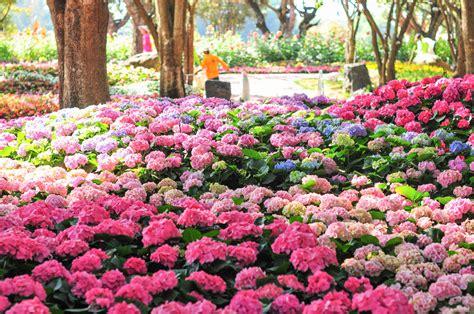 comment bien planter un hortensia d 233 broussaillez