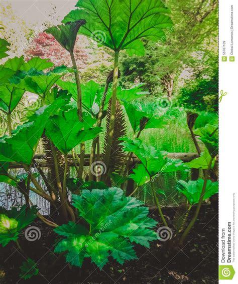 plante verte 224 croissance rapide avec de grandes feuilles photo stock image 56767109