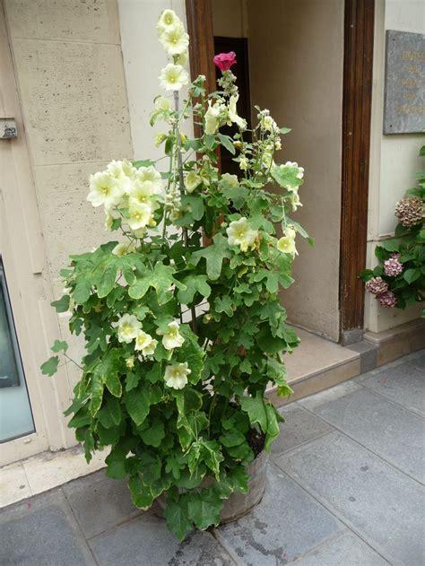 les roses tr 233 mi 232 res poussent en bac c 244 t 233 jardin