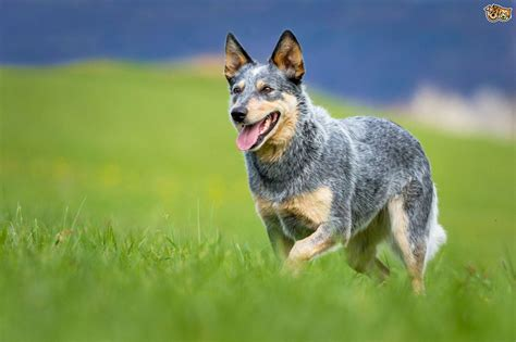 Stop Blue Heeler Shedding by Heeler Pictures And Photos Australian Cattle