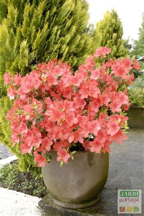 la culture des azal 233 es et rhododendrons en pots