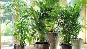 Palmen Für Die Wohnung : le palmier lu plante d int rieur de juillet ~ Markanthonyermac.com Haus und Dekorationen