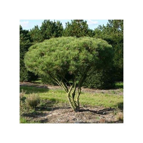 pin du japon plantes et jardins