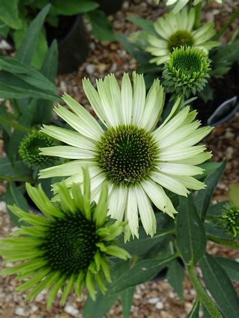 17 best images about cone flowers in containers on gardens compact and finches