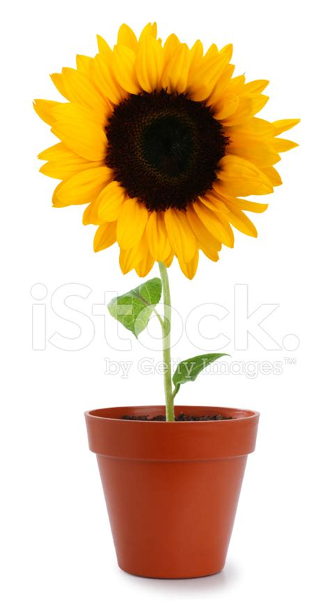 sunflower in a pot stock photos freeimages