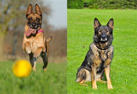 belgian malinois vs german shepherd shedding belgian malinois vs german shepherd which is the best