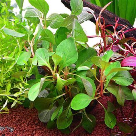 lot de plantes pour aquarium de 60 cm 192 prix avantageux chez zooplus