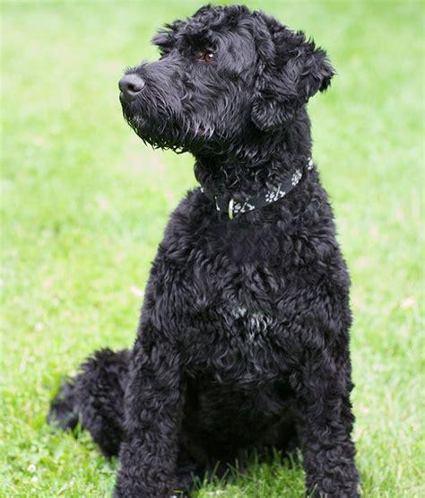portuguese water non shedding 17 mejores ideas sobre non shedding dogs en