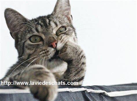 laviedeschats vous conseille sur la sant 233 des chats