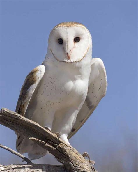 barn owl for barn owl audubon field guide