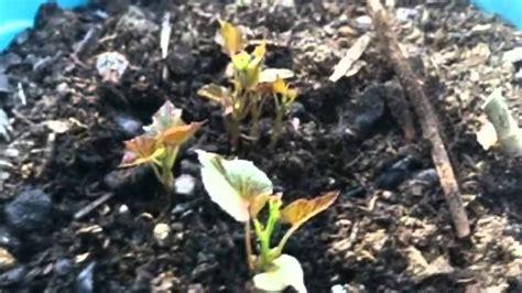 faire pousser des patates douces en pot