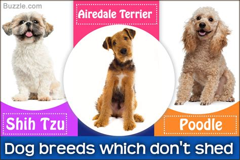 low shedding dogs list most popular hypoallergenic non shedding breeds