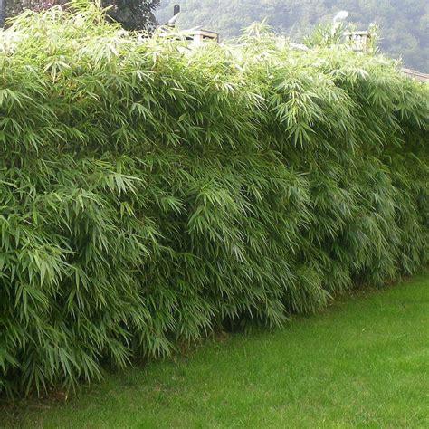 achat bambou en pot pour plantation et bac la paysagerie