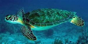 Green sea turtle, Pacific green turtle | DinoAnimals.com