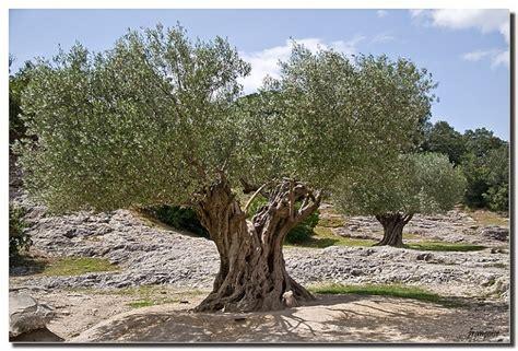 mon olivier en pot
