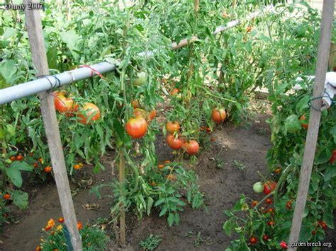 plants de tomates quot coeur de boeuf quot plantes potagres les galeries photo de plantes de
