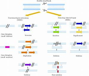 Overview of potential genome editing outcomes based on ...
