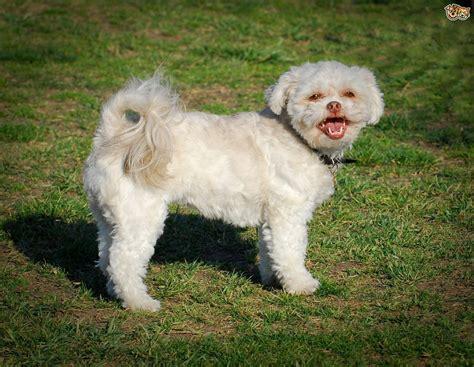 low shedding dogs uk 17 low shedding small dogs buddy pharaoh hound