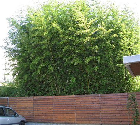 phyllostachys bisetti 90cm na bazarek pl