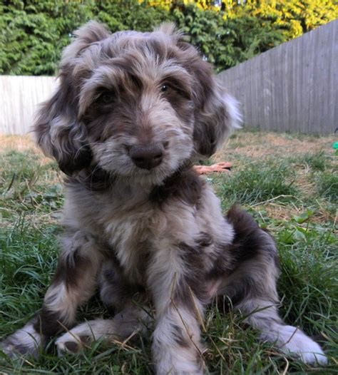 fluffy aussiedoodle it s so fluffy animal