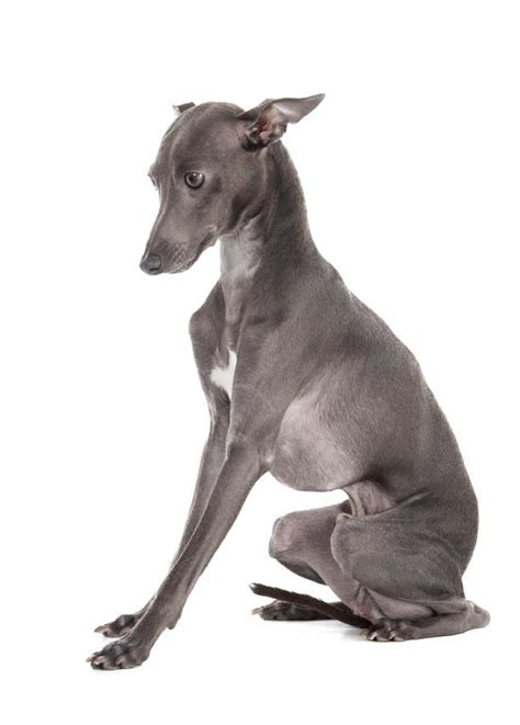 top 30 dogs that don t shed small medium and large