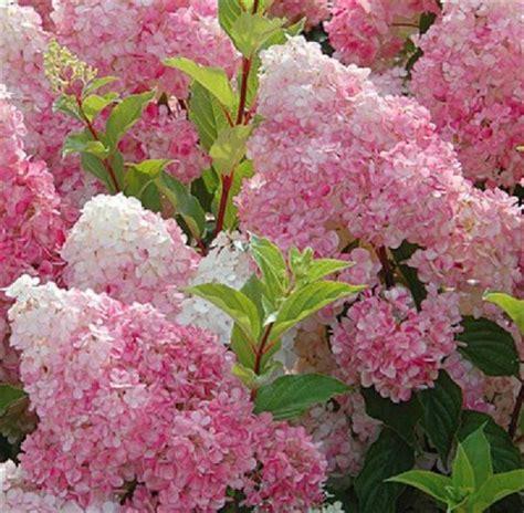 kolibri kert 233 szet bug 225 s hortenzia vanille fraise 218 jdons 225 g