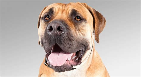 boerboel information boerboel facts pictures breeds picture