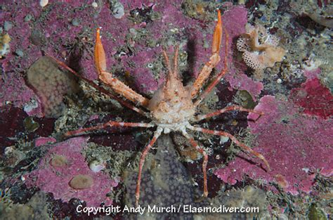 decorator crabs are bottom dwelling or 28 images