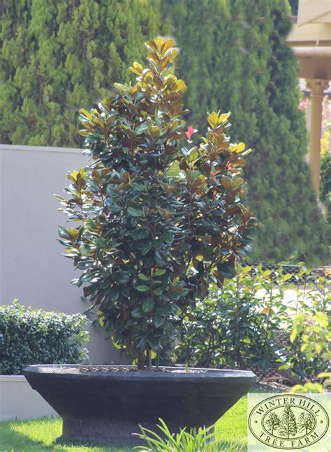 winter hill tree farm magnolia magnolia grandiflora gem