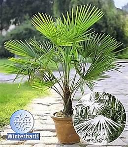 Immergrüne Winterharte Kübelpflanzen : winterharte k bel palme 1a k belpflanzen baldur garten ~ Markanthonyermac.com Haus und Dekorationen