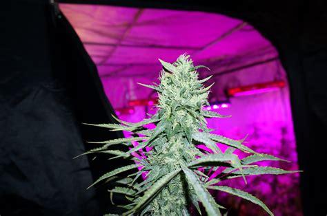 comment cultiver du cannabis la faq d 233 finitive