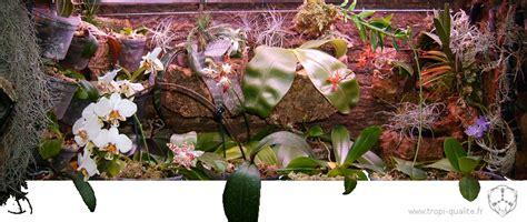 cultiver les phalaenopsis tropi qualit 233