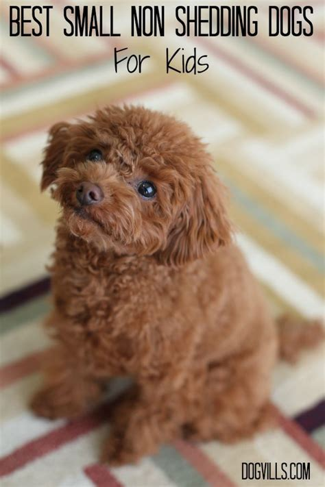 list non shedding hypoallergenic dogs pictures 17 best ideas about hypoallergenic breed on