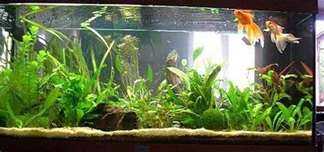 poissons rouges voiles de chine